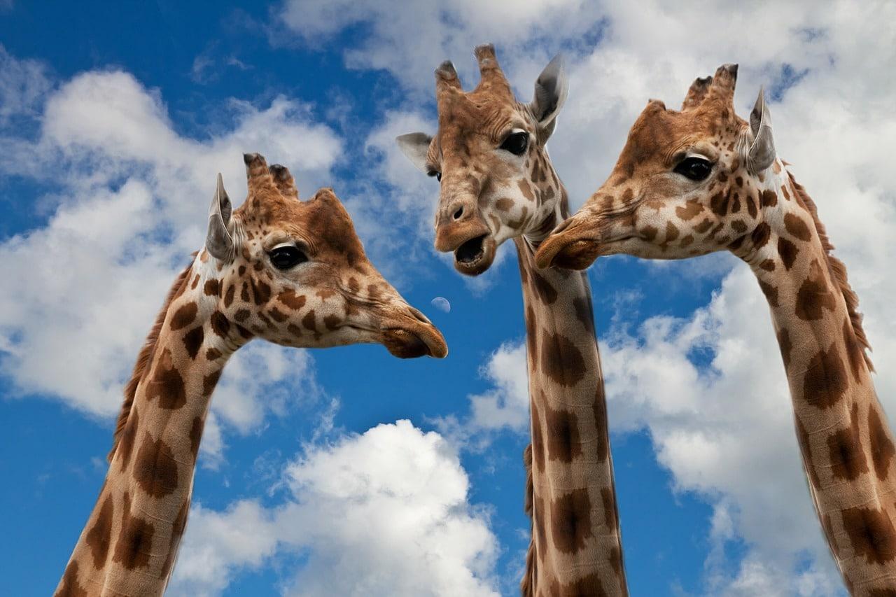 https://horasis.org/wp-content/uploads/giraffes-627031_1280.jpg